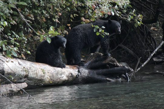 Coastal Black Bear Hunt