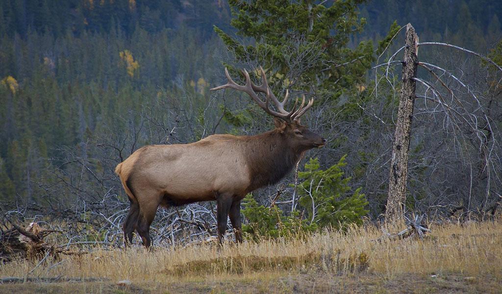 RMEF Elk Research